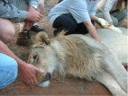 Monitoring of lion vital signs