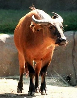 Dwarf Forest Buffalo