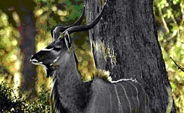 Northern Greater Kudu