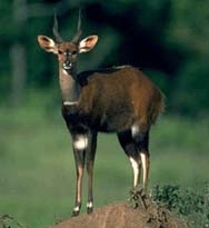 South African Bushbuck